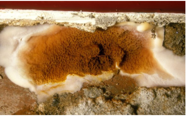 Fungal Growth Dry Rot Image